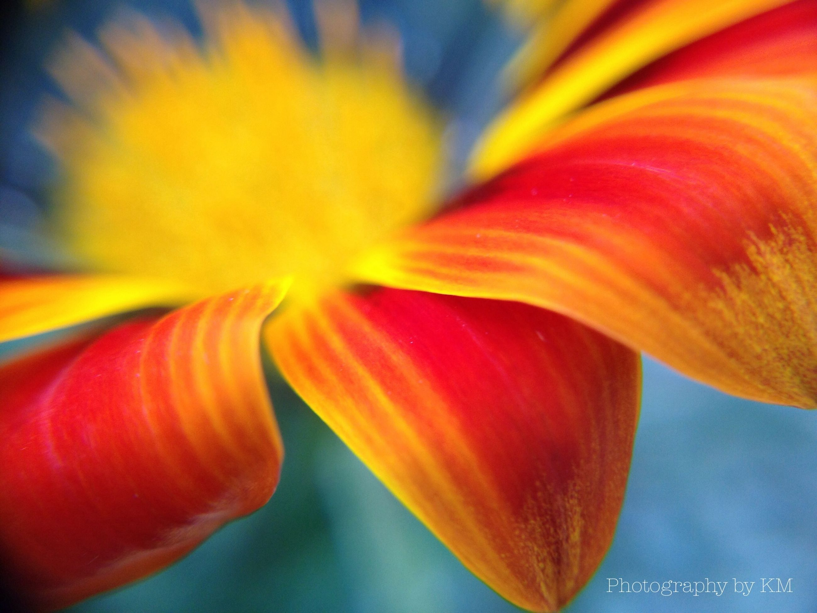 petal, flower, freshness, close-up, orange color, flower head, fragility, yellow, beauty in nature, red, nature, growth, vibrant color, single flower, selective focus, focus on foreground, stamen, backgrounds, full frame, macro