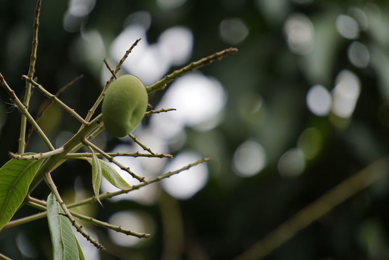mango Close-up No People Outdoors Day Tree Nature Food Freshness Fruit Fruit Tree Mango Tree Mango Green Greenleaf Greenmango Bokeh