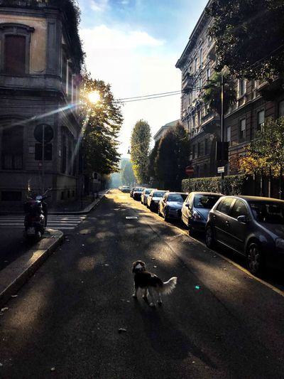 EyeEm Selects Milan Via Rovani Autum In The Street Building Exterior Architecture Built Structure Car Transportation Land Vehicle Mode Of Transport Street Road One Animal Animal Themes Tree Domestic Animals Pets Dog Outdoors Day Sky Mammal City Cavalier King Charles Spaniel