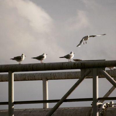 Seagull Seagulls Seagullmonday Seagullsstyle Seagullmania Birds Bird Budapest Ig_hun Birdstagram Birdsinflight Birdsofinstagram Birds_of_instagram Birdsplanet Birdsofig