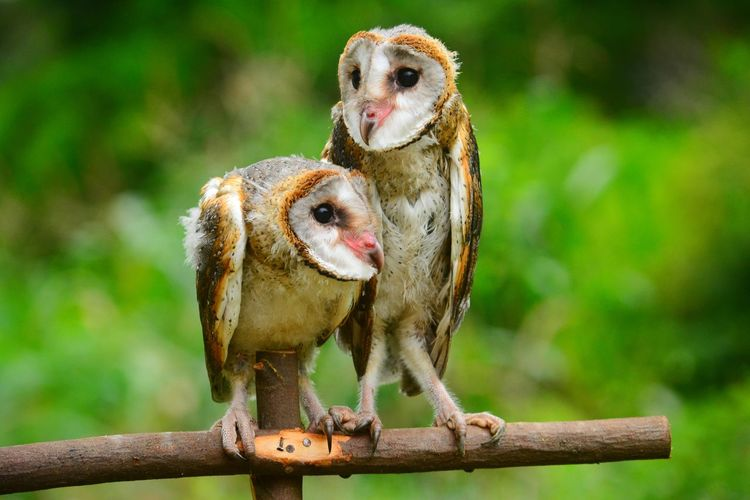 Close-up of barn owls perching on stick