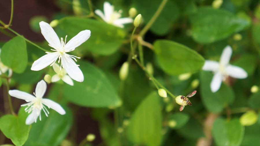 Fly and Sweet Autumn Clematis Fly Beauty In Nature Clematis Close-up Day Flower Flower Head Flowering Plant Focus On Foreground Fragility Freshness Green Color Growth Leaf Nature No People Outdoors Petal Plant Plant Part Purity Selective Focus Vulnerability  White Color