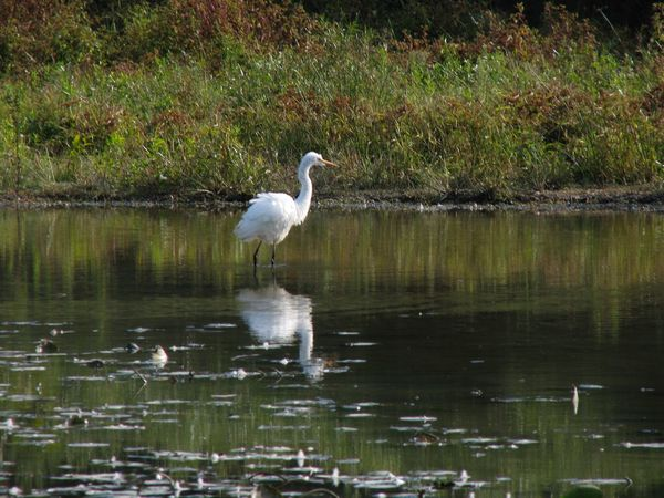 Animals In The Wild Bird One Animal White Heron Water Tranquil Scene