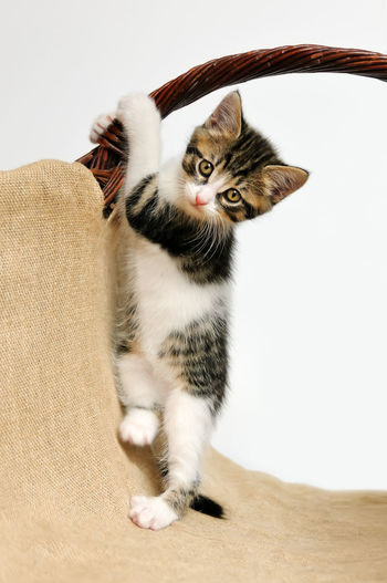 A tabby white baby kitten tries gymnastic exercises and stands on its legs Curious Cat Funny Pet Portraits Standing Animal Themes Baby Animal Cat Cat Gym Cats Climbing Cute Cute Cats Domestic Cat Feline Frisky Frolic Gym Kitten Kitty Cat Paws Pets Playing Standing On Legs Tabby And White Tabby Cat