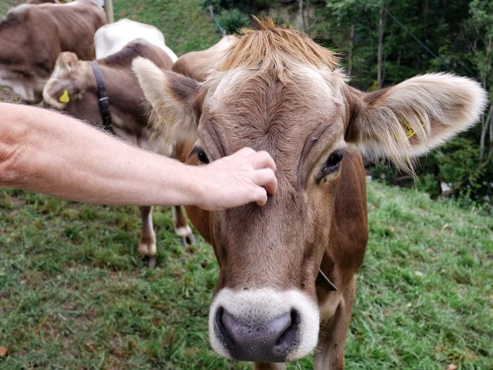 Cropped image of hand touching cow on grassy field