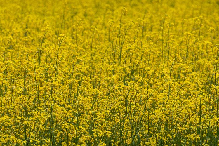 Full frame shot of yellow flowers in field
