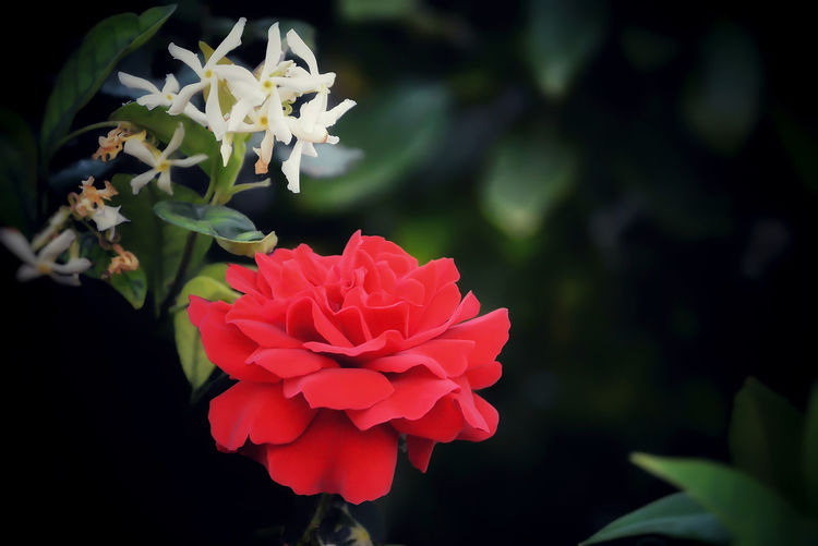 Beauty In Nature Close-up Day Flower Flower Head Fragility Nature Outdoors Park Petal Red Rose - Flower Rose🌹
