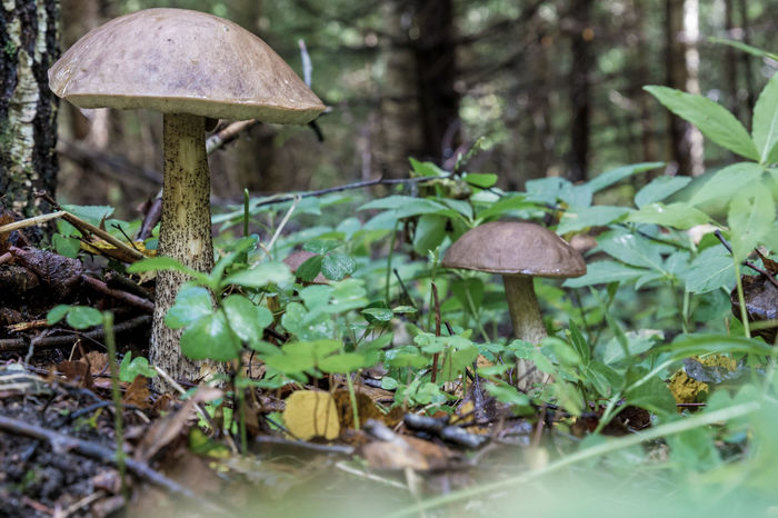 Beauty In Nature Close-up Day Fly Agaric Fly Agaric Mushroom Forest Fragility Freshness Fungus Green Color Growth Mushroom Nature No People Outdoors Toadstool