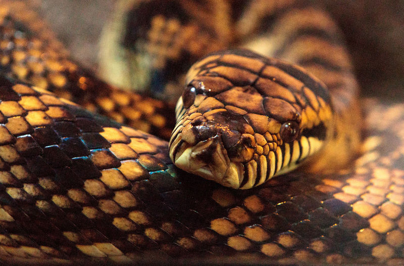 Scrub python known as Morelia amethistina is found in Australia and New Guinea. Coiled Snake Giant Snake Herp Herpetology Large Snake Morelia Amethistina Python Reptile Scrub Python Snake