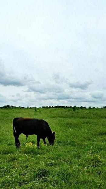 Cow Cows Calf Animals Farm Animals FarmAnimal Farm