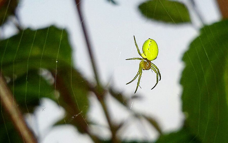 Spinne 🌿 Spider Web Tiny Insects Insect Nature Spider Green Color Close-up One Animal Plant Day No People Animal Wildlife Leaf Outdoors Focus On Foreground Animals In The Wild Beauty In Nature Fragility Growth Freshness Animal Themes Hello World Check This Out!