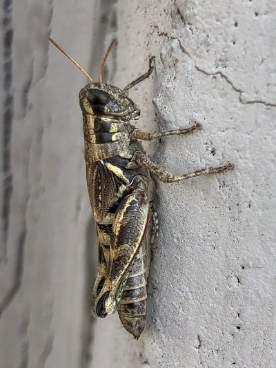 Animal Themes Animal Animal Wildlife Insect Invertebrate One Animal Animals In The Wild Wall - Building Feature Close-up Animal Body Part Outdoors Grasshopper Zoology Animal Antenna Animal Wing Nature