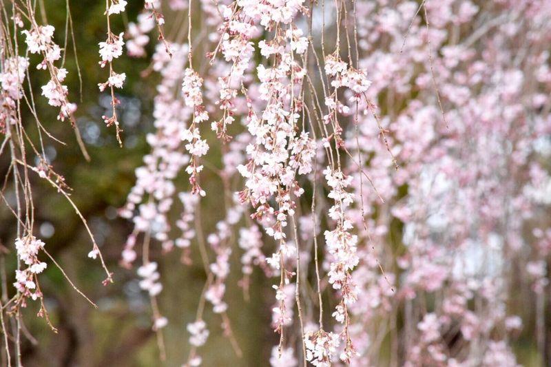 枝垂れ桜 京都 3月 NIKON D5300 EyeEm Japan EyeEm Best Shots 桜 Eyemphotography Japan EyeEmBestEdits 京都御苑 Cherry Blossoms