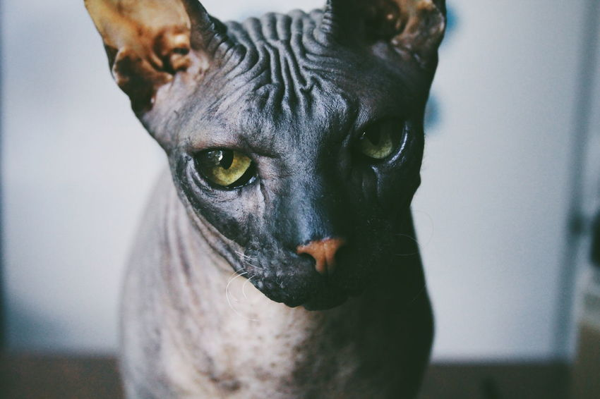 Animal Animal Eye Animal Nose Animals Cat Cats Close-up Domestic Animals Focus On Foreground Looking At Camera No People One Animal Pets Sphynx Sphynx Cat VSCO Vscocam Zoology