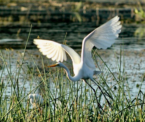 Great American Egret taking off Animal Themes Animals In The Wild Bird Day EyeEm Best Shots Grass Great American Egret In Flight Nature No People One Animal Outdoors Spread Wings White Color