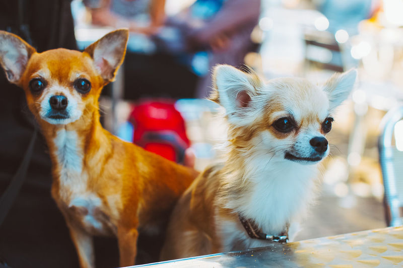 Animal Themes Close-up Day Dog Domestic Animals Focus On Foreground Indoors  Looking At Camera Mammal No People Pembroke Welsh Corgi Pets Pomeranian Portrait