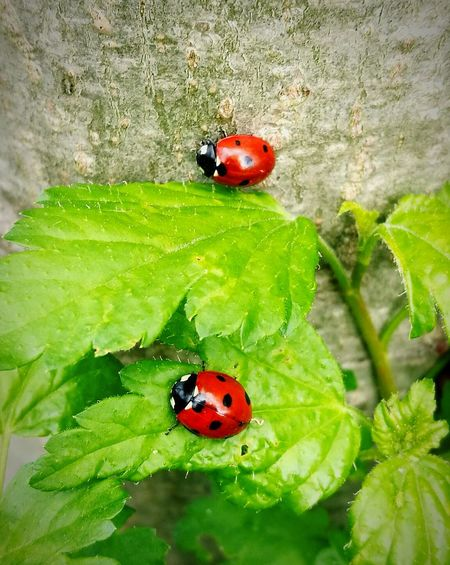 Insect Ladybug Animal Themes Animals In The Wild Red Spotted Wildlife Leaf High Angle View Beetle Beetle Insect Nature Bugs Insects  Focus On Foreground Ladybugs Ladybug🐞 Ladybugs Photography Huaweiphotography HuaweiP9 Huawei P9 Leica HuaweiP9Photography Outdoors