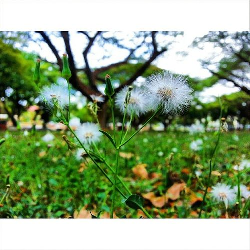 Little dandelion, no one just want to care about you. You are just the small thing on earth which nobody even notice or recognize you. But, you keep on telling yourself you must be meant for something. One day, they will notice you. Just one day... 😤 😤😤 Oneday Dandelion Careaboutyou Ignorance Getusedtoit Plant Flora VSCO Vscocam Vsco_hub Tropical Penang 💪💪💪