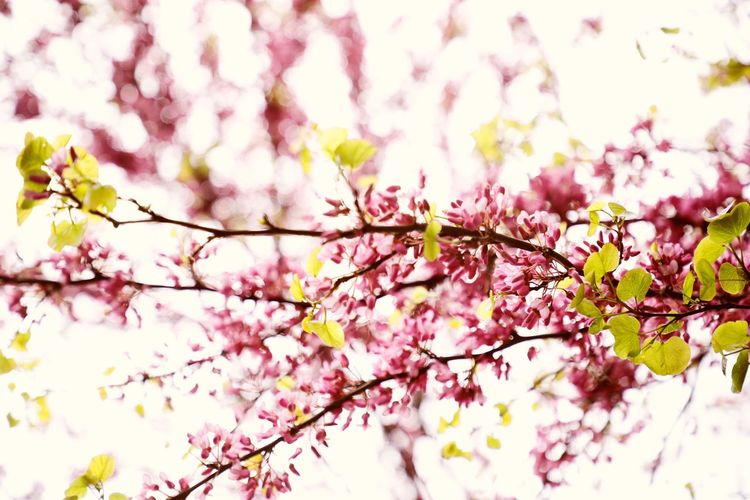 Plant Pink Color Tree Branch Flowering Plant Growth Beauty In Nature Flower Blossom Freshness Low Angle View Day Nature Selective Focus Fragility Close-up Vulnerability  Springtime No People Cherry Blossom Outdoors Cherry Tree Spring Flower Head