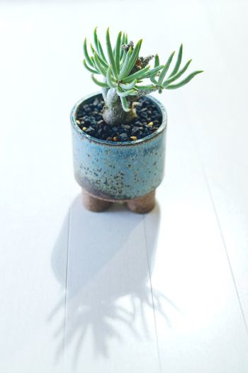 Potted Plant White Background Growth Plant Indoors  Studio Shot No People Cut Out Still Life Succulent Plant Shadow Flower Pot Close-up Cactus Table Nature Leaf Plant Part Houseplant Green Color