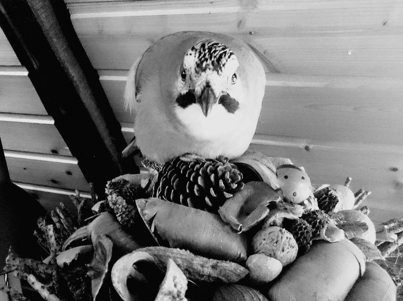 EyeEm Selects Indoors  Close-up Bird Photography Birdphotography Jay Bird Day Looking At Camera Pets No People Animal Sitting