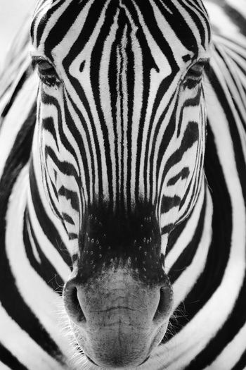 Close-up portrait of zebra