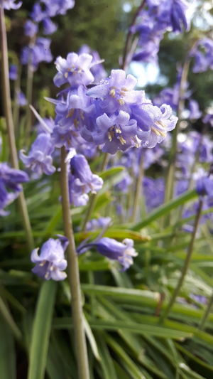 Bluebells with dew. Flower Beauty In Nature Purple Nature Plant Flower Head Outdoors Close-up