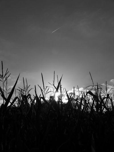 Nature Photography Nature Corn