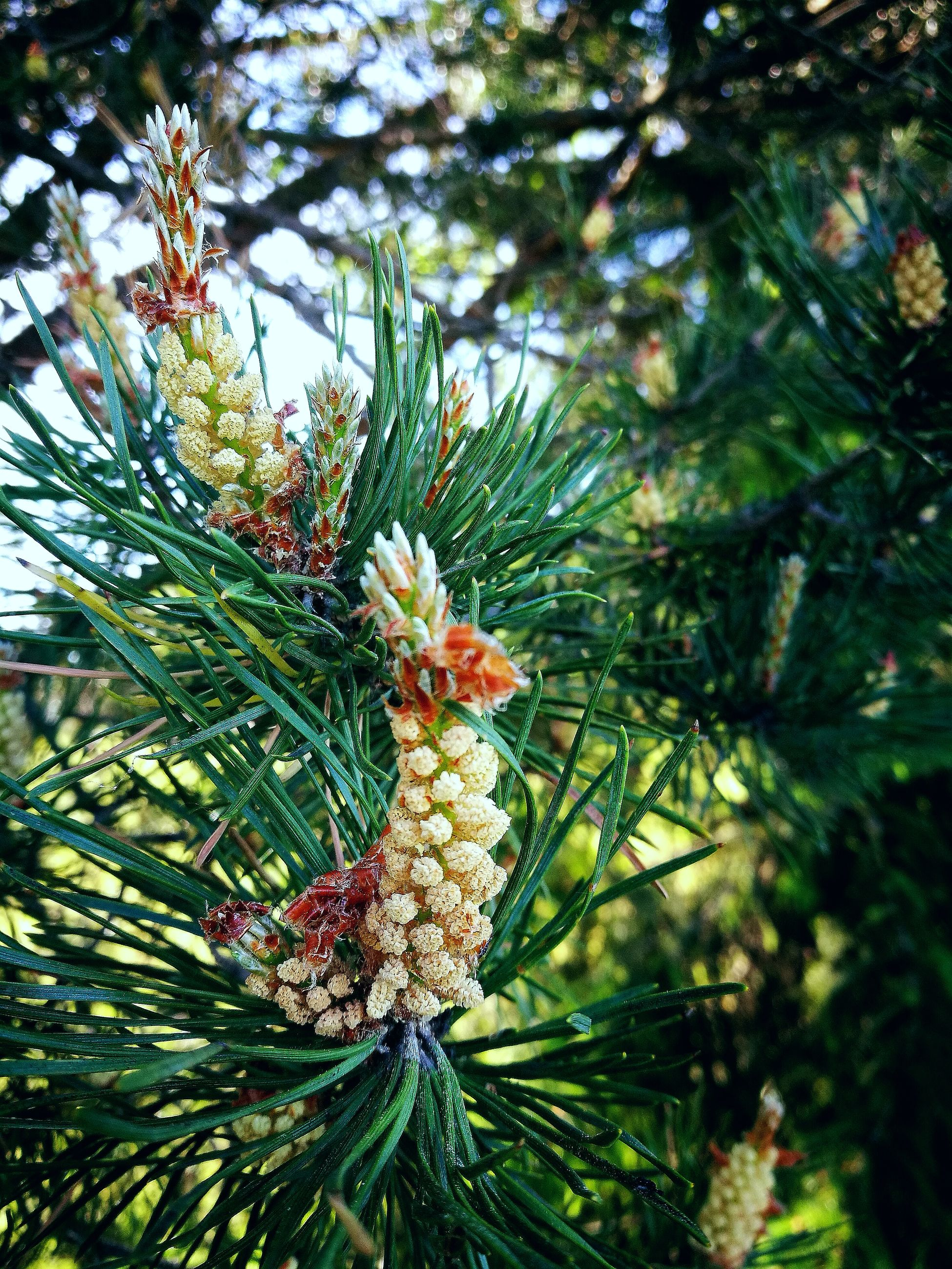 tree, growth, green color, nature, fruit, beauty in nature, no people, branch, freshness, pine tree, day, outdoors, flower, close-up, needle, food