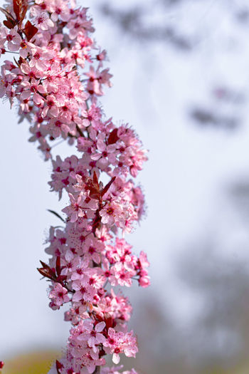 Flower Flowering Plant Beauty In Nature Plant Fragility Freshness Growth Pink Color Vulnerability  Blossom Tree Focus On Foreground Nature Branch Springtime Day Close-up Cherry Blossom No People Cherry Tree Outdoors Flower Head Bunch Of Flowers Spring Lilac