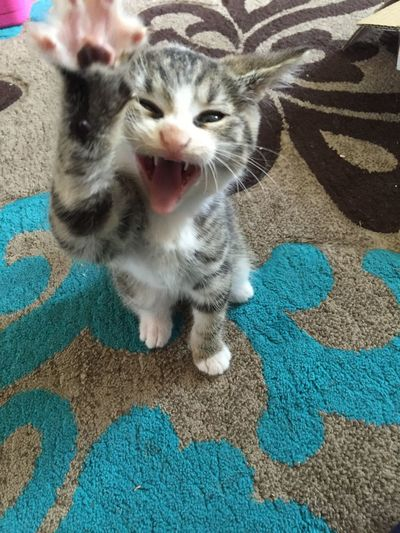Hi mom!!! Hear me roar 😂😻 Cheese! Yawn Yawning Cat Kitten 🐱 Kitty Kitty Love Kittensofinstagram Kitten #adorable New Addition To The Family Kitty Cat