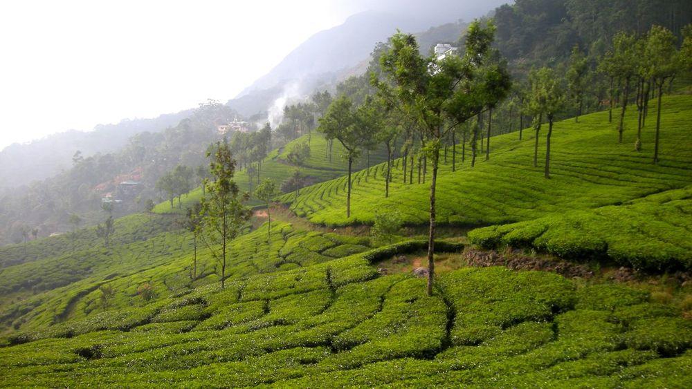 Nature Field Tea Crop Tropical Climate Crop  Landscape Rural Scene Beauty In Nature Hill Beauty Tea Gardens Munnar Kerala Kerala, India