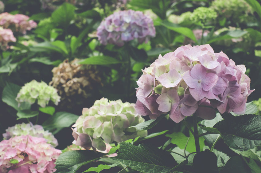 hydrangeas flowering plants Beauty In Nature Botanical Species Close-up Day Flower Flower Head Flowering Plant Fragility Freshness Green Color Growth Hydrangea Inflorescence Leaf Lilac Nature No People Outdoors Petal Pink Color Plant Plant Part Purple Springtime Vulnerability