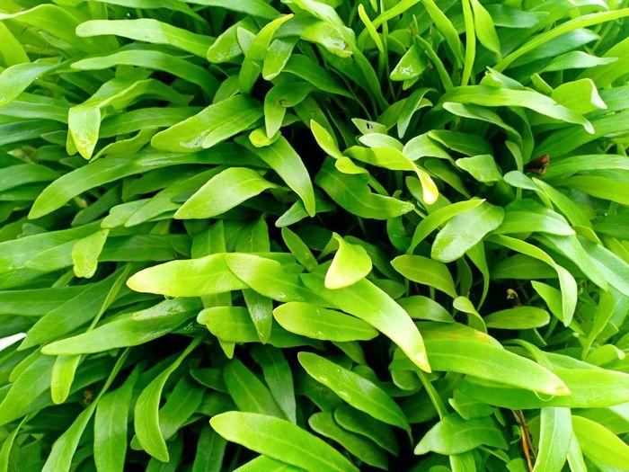 Parasit Leaf