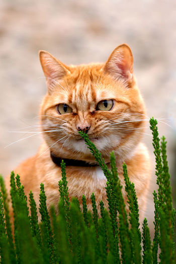 Pesky ginger cat playing with the plants on a flowerbed, Catalonia, Spain. Close-up Domestic Cat Ginger Cat No People One Animal Outdoors Pesky Vertical