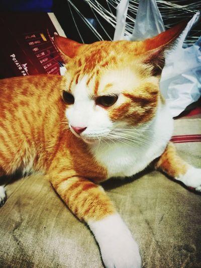 Close-up portrait of cat lying down