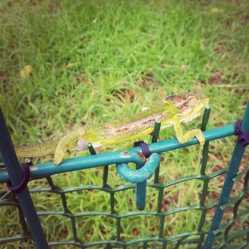 Camacama Chameleon