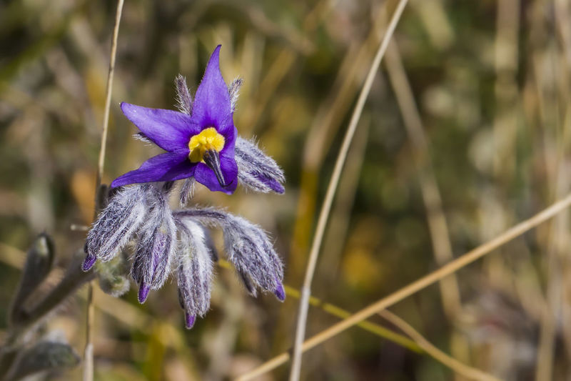 Halgania (Halgania solanacea) Flower Flowering Plant Vulnerability  Fragility Plant Close-up Purple Growth Freshness Focus On Foreground Beauty In Nature Petal Inflorescence Flower Head Nature No People Day Botany Plant Stem Softness Australian Desert Plant