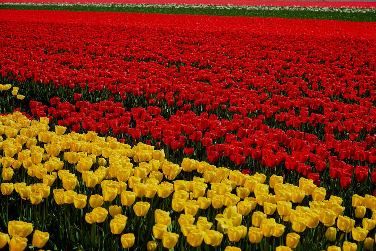 Scenic view of red tulip flowers on field