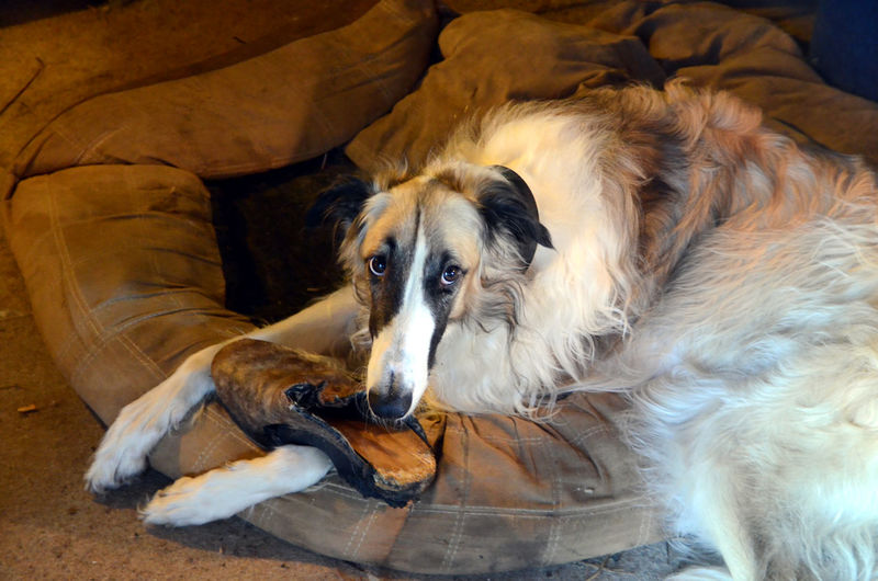 Borzoi dog with a guilty face expression caught in chewing a shoe Caught Guilt Guilty Shoe Bed Borzoi Canine Chewing Dog Dog's Eyes Domestic Domestic Animals High Angle View Indoors  Looking At Camera Lying Down Mammal No People One Animal Pets Portrait Regret Relaxation Resting Vertebrate