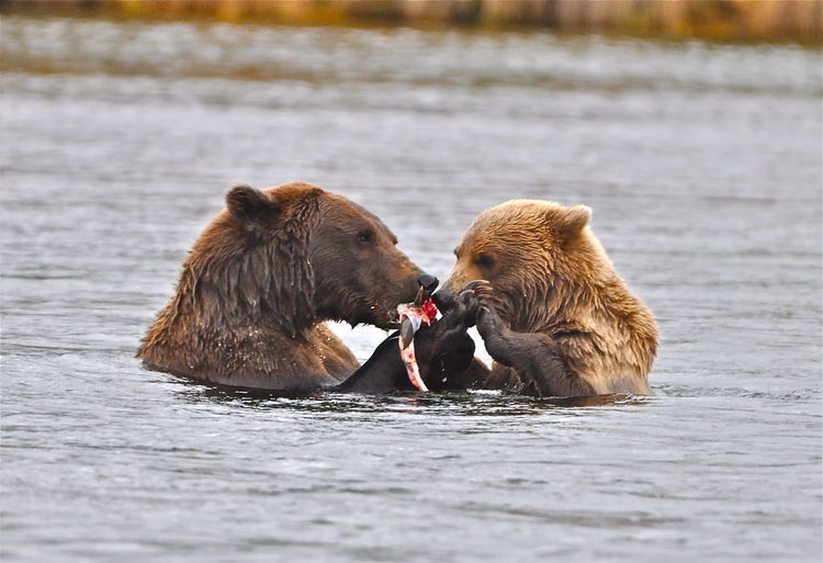 A family dinner Brown Bear And Cub Animal Animal Family Animal Themes Animal Wildlife Animals Hunting Animals In The Wild Bear Day Group Of Animals Hungry Hunting Mammal Mouth Open Nature No People Selective Focus Survival This Is Family Two Animals Vertebrate Water