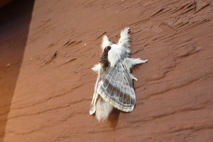 Tolype Moth Amazing Nature Animal Themes Furry Furry Friends Moth Moths One Animal Strange Nature Tolype Moth Zoology