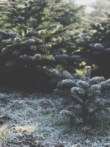 Nature Growth Beauty In Nature Plant Flower Outdoors Day Close-up No People Freshness Tree Fragility Pain Tree Snow Winter Christmas