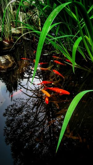 Fish Pond Water Underwater Koi Carp Fish Pond Close-up School Of Fish Standing Water Calm Growing Young Plant