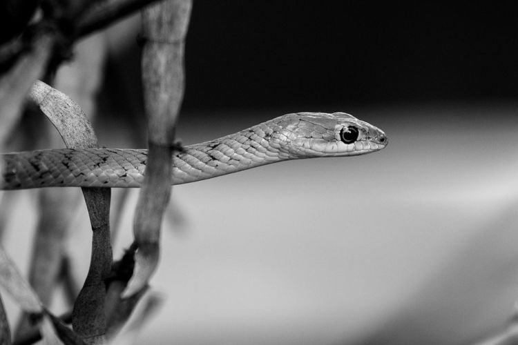 Slang in the trees Blackandwhite Greyscale Desaturated Contrast Snake Serpent Trees Wildlife EyeEm Selects One Animal Animal Wildlife Reptile No People Animals In The Wild Animal Themes Close-up Nature Outdoors Day