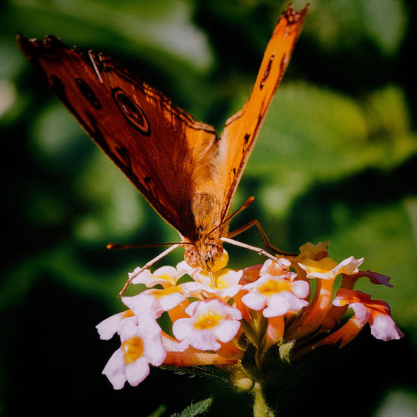 A butterfly dips for a sip Beautiful Nature Butterfly Butterfly ❤ Fragility Insect Insects  Lepidoptera Nature One Animal Butterfly And Flowers Butterflies And Moths