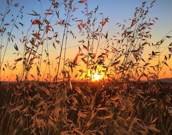 Sunset Nature Growth Field Sun Beauty In Nature Crop  Plant Sunlight Orange Color Outdoors Cereal Plant Tranquil Scene Sky Scenics Agriculture Clear Sky Rural Scene No People Tranquility Your Ticket To Europe Mix Yourself A Good Time Perspectives On Nature