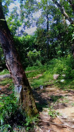 Forest Nature Tree Day Growth Outdoors No People Beauty In Nature Tranquility Forest Scenics Tree Trunk Water Grass Sky Jungle Trips Picnic Leave Freshness Beauty In Nature Tree Close-up Jungle Nature Growth Holiday