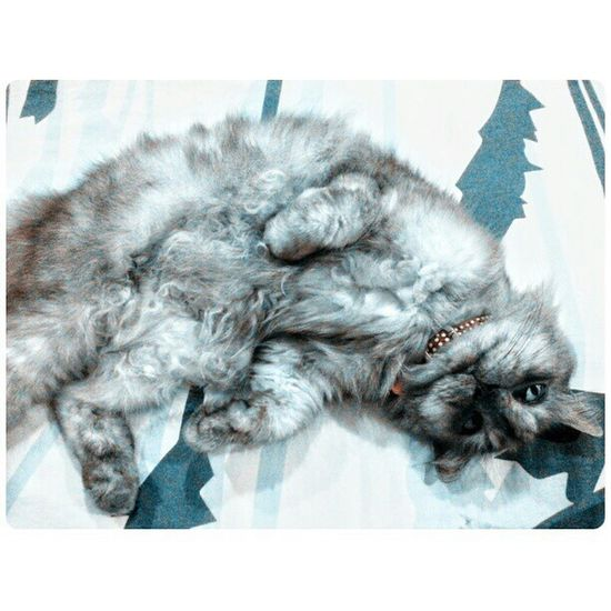 Am i cute?am i? Catpictureoftheday Catofinstagram Cat Persian dixie gebu mengada manja @razman0315