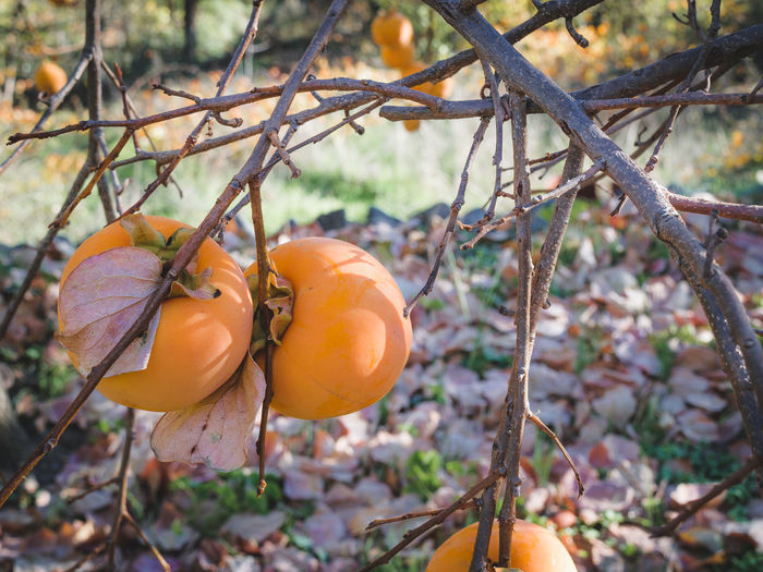 Autumn Beauty In Nature Close-up Day Fall Focus On Foreground Food Food And Drink Freshness Fruit Growth Hanging Harvest Season Healthy Eating Nature No People Orange Color Organic Living Outdoors Persimmon Produce Tree Agios Ioannis Persimmons Kaki Fruit